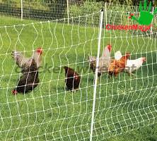 chickens in protected by chicken wire