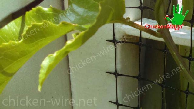 Chicken wire netting to protect passiflora