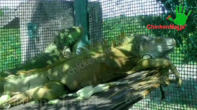 Iguanas in his house with hen netting