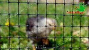 chicken plastic net protecting hens