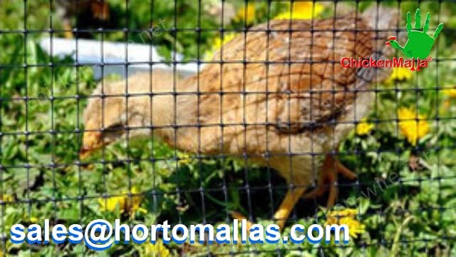 safe chicken protected with chicken wire