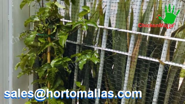 Passionflower at home production using chicken net for trellis